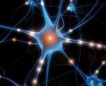 Neurones de l'autre côté du miroir_Neurone.jpg